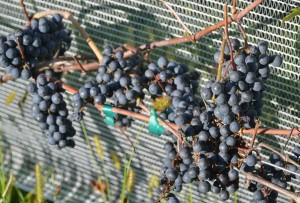 sky-acres-grapes-2